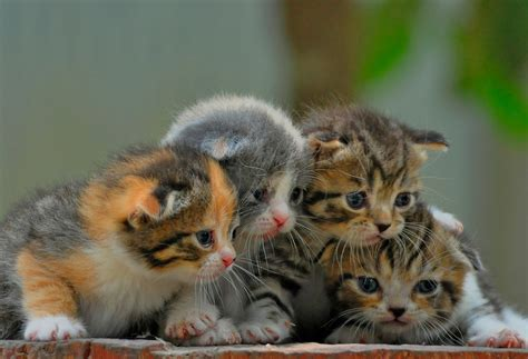 Kucing Umur 1 Bulan Gambar 7 Mudah Memberikan Makanan Anak Kucing Umur 1 Bulan