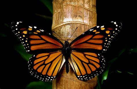 imagenes de mariposas monarcas peligra la mariposa monarca por cultivos transg 233 nicos en