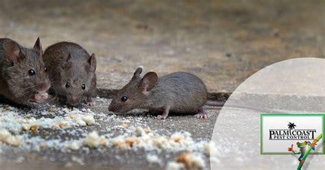 tips  prevent rodent infestations   florida home
