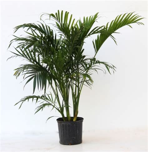 cateracterum palm alpha botanical cat palm plant care profile
