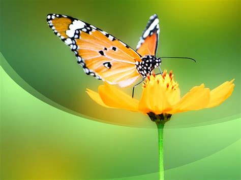 butterfly powerpoint template free butterfly ppt template