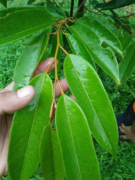 penangkar bibit durian unggul  membedakan daun  buah