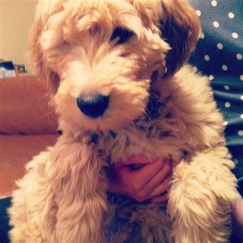 goldendoodle food 1000 images about snickerdoodles goldendoodles on