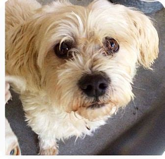 havanese rescue seattle seattle wa havanese bichon frise mix meet bennie a for adoption