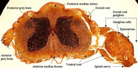 Cross Section Of Mammalian Spinal Cord by Ganglion Rachidien Diapo Pentose Phosphate