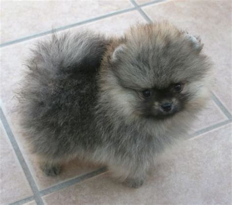 wolf pomeranian pomeranian with wolf spitz markings looks like a tiny keeshond dogs