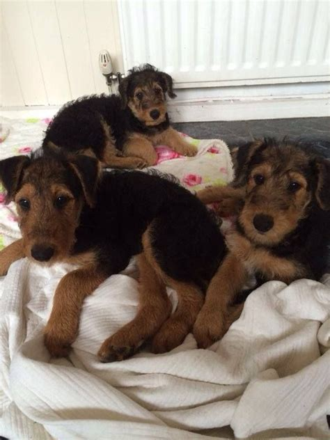 airedale puppies for sale airedale terrier puppies for sale newcastle upon tyne tyne and wear pets4homes