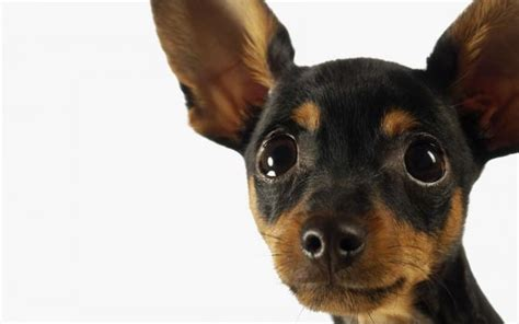 pinscher alimentazione pinscher razza descrizione carattere cuccioli