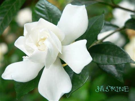 nyanyian angin bunga melur