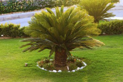outdoor palm tree l post outdoor sago palm plants how to care for sago palm outside