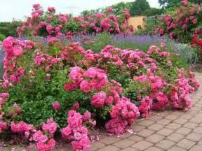 altrosa teppich a walk through noack s display gardens your easy garden