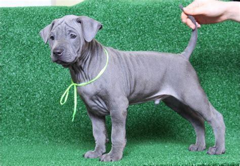 thai ridgeback puppies thai ridgeback facts pictures puppies rescue temperament breeders animals breeds