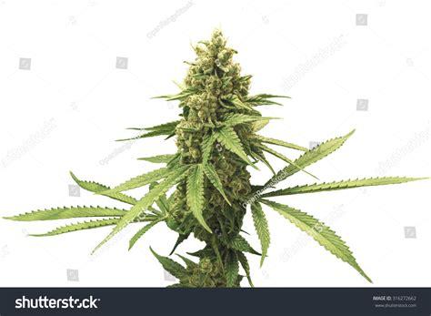 Marijuana Photo Gallery