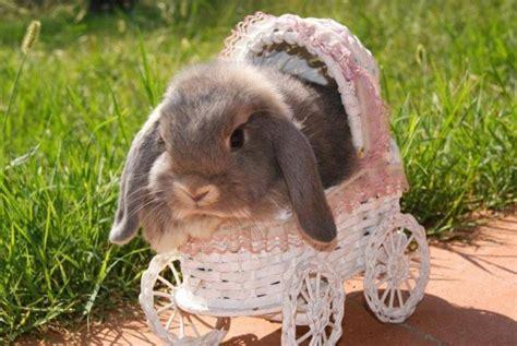 coniglietti nani alimentazione ariete nano fata perlata la stalla dei conigli