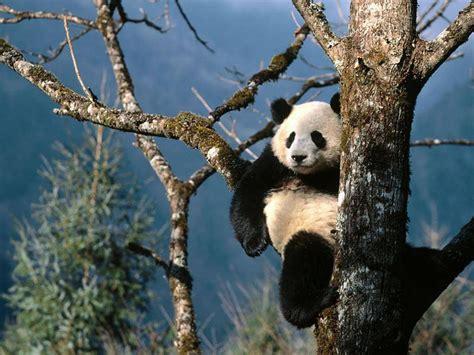 imagenes asombrosas tumblr wallpapers funny panda wallpapers