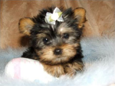yorkie babies for free yorkie puppies free images 301 moved permanently