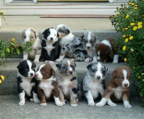 australian shepherd puppies wisconsin chaming australian shepherd puppies available dogs