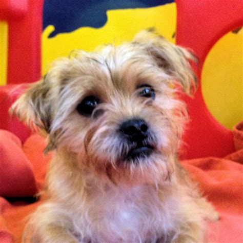 pug yorkie cross adam 5 month pug cross terrier for adoption