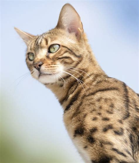 10 bengal cat facts stella blue cat facts