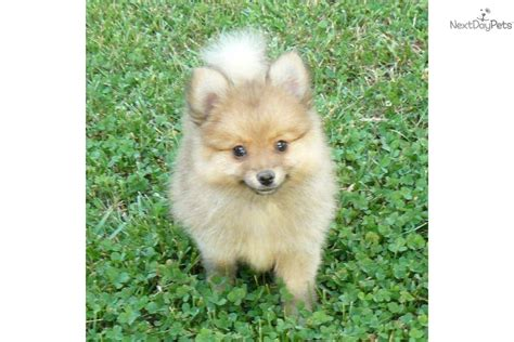 pomeranian breeders nj husky puppies nj pomeranian husky mix puppies siberian husky puppies breeds picture