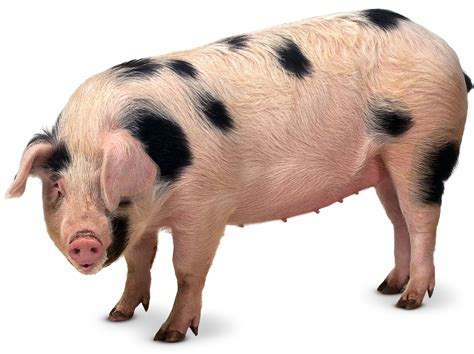 Animal Farm Pig what are pigs why do pigs roll in mud dk find out