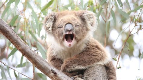imagenes del animal weta animales de australia tourism australia