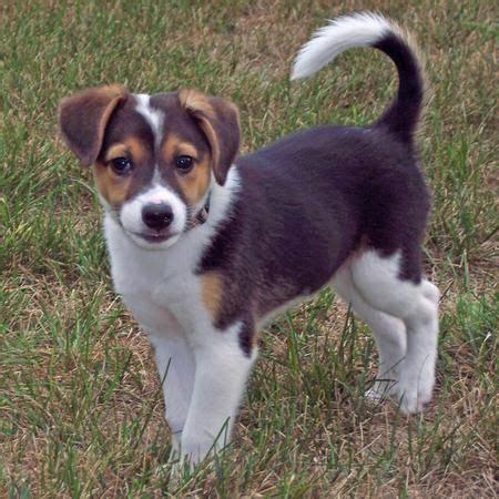 beagle mix corgi beagle mix interesting facts you need to now petdt a