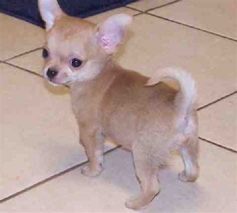 chihuahua puppies near me 38 best images about apple chihuahua on