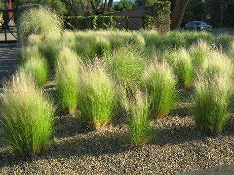 cortaderia selloana pas grass growing ornamental grass from seed 100 images pink