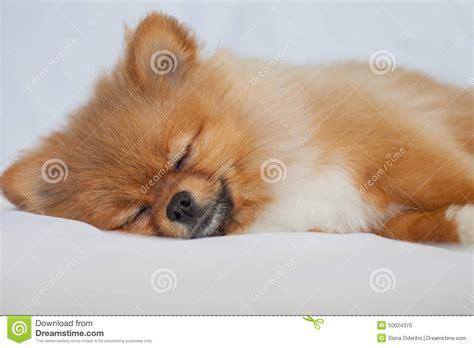 sleeping pomeranian pomeranian puppy sleeping on a white backgroundlies stock photo image 50024370