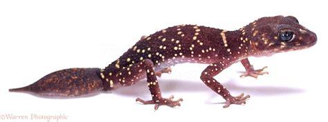 Barking Gecko photo - WP02157