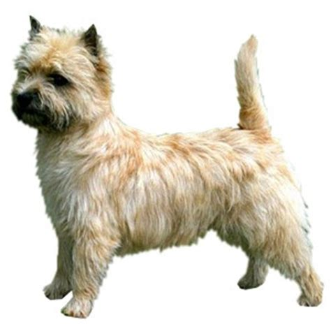 is it ok to cut a cairn terrieris har short then re grow it 1000 images about dog grooming on pinterest pets