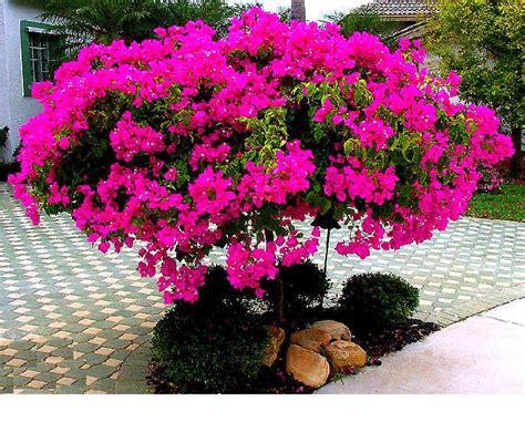 membuat bonsai bunga kertas bougenville pakar