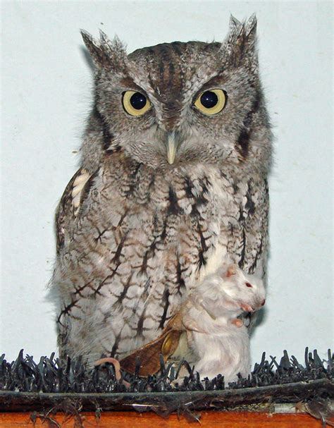 laura s eastern screech owl photos