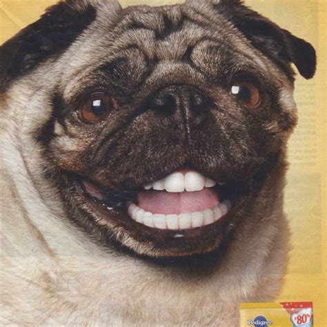 pug with dentures doggie dentures when brushing is just sarge the pug 1998 to 2015