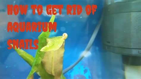 how to get a s nail to stop bleeding how to make diy aquarium snail trap common aquarium snails and how to get rid of