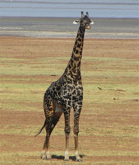 what color are giraffes what color are giraffes free clipart