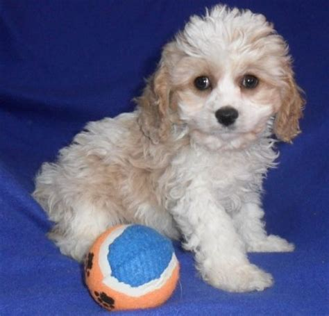 cavapoo puppies for adoption charming cavapoo puppies for sale for sale adoption from merseyside