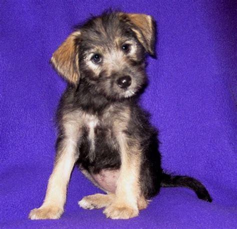 yorkie puppies temperament image gallery schnorkie