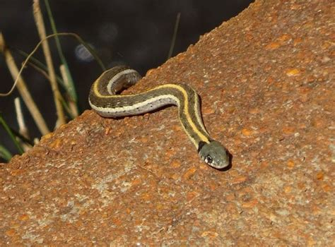 Lu Reptil 54 best images about reptiles on reptiles and