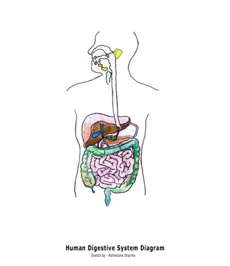 blank digestive system diagram developers human circulatory system diagram for
