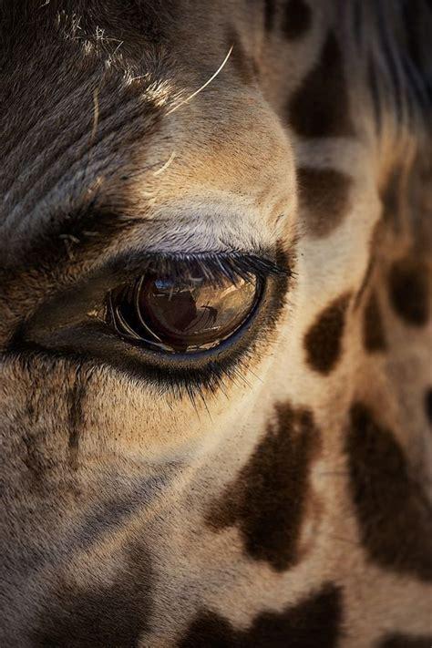 imagenes jirafas abrazadas m 225 s de 25 ideas incre 237 bles sobre jirafa en pinterest