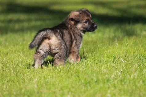 k9 german shepherd puppies for sale mountain breeders says company german shepherd family protection scottus