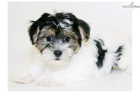 havanese puppies for sale in columbus ohio havanese breed information breeds picture