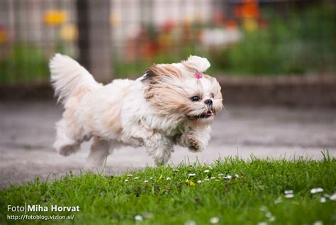 can a shih tzu walk 3 14 shih tzus who believe they can fly shih tzu daily