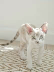 How To Make Cat Shed Less by Rex Adorable And Sheds Considerably Less Than The