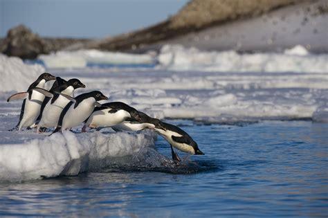 the first man penguin b00gedd3z6 festeggiano pinguini e foche creata in antartide la pi 249 grande area marina protetta del mondo