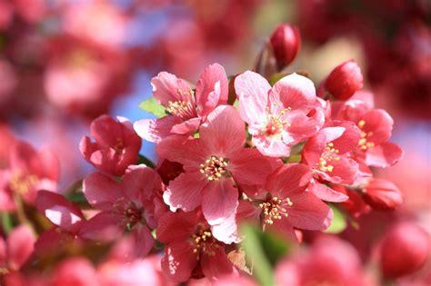 piante con fiori rosa piante con fiori rosa ecco le pi 249 lombarda flor