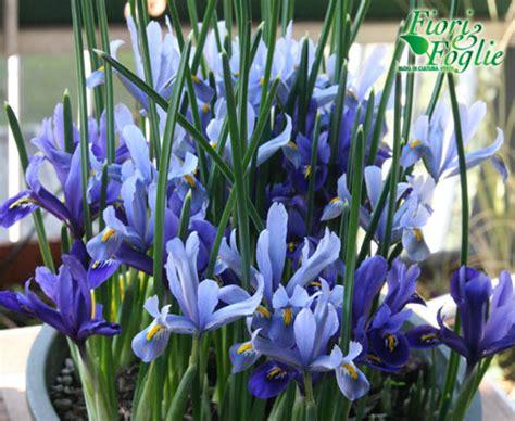 fiori da davanzale iris nani perfetti anche per il davanzale fiori e foglie