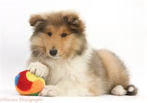 Toy Collie Related Keywords Amp Suggestions Toy Collie Long Tail » Ideas Home Design